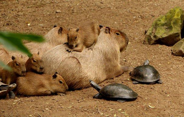 Descubra por que a capivara é a melhor amiga do reino animal 16