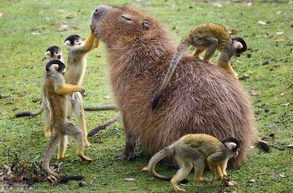 Descubra por que a capivara é a melhor amiga do reino animal 5