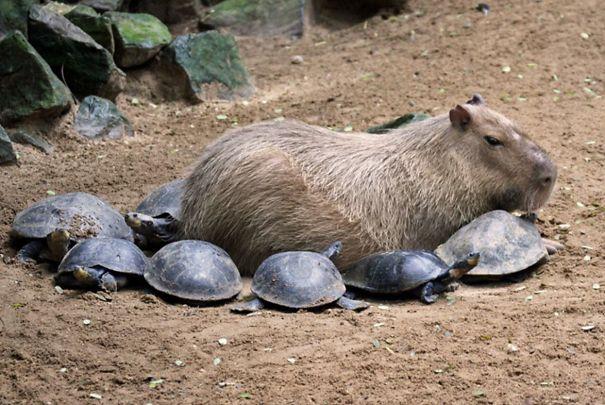 Descubra por que a capivara é a melhor amiga do reino animal 7