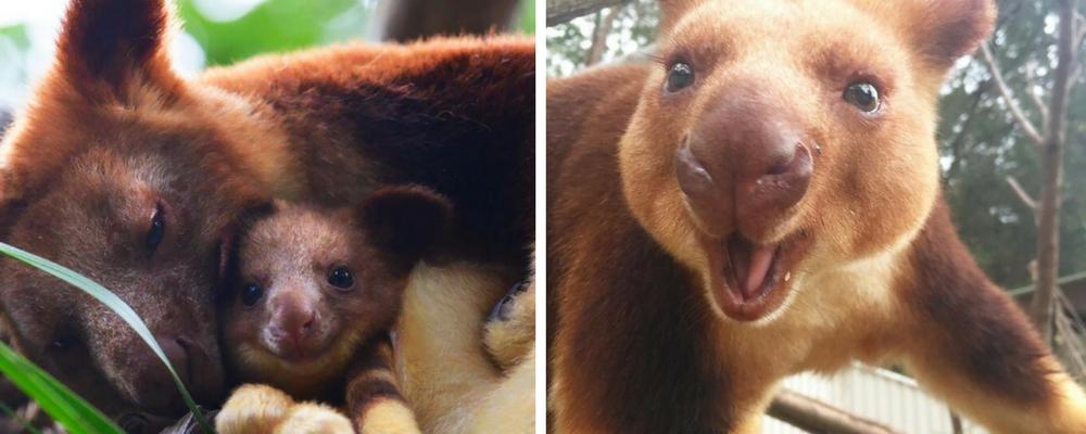 Estamos apaixonados por essa espécie rara de marsupial: o canguru de árvore! 1