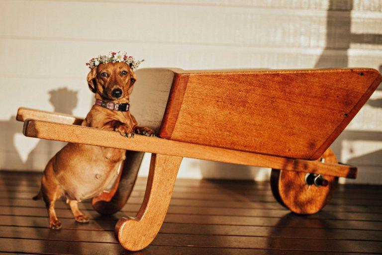 Fotógrafa faz ensaio de sua cachorrinha grávida e nós estamos encantados 1