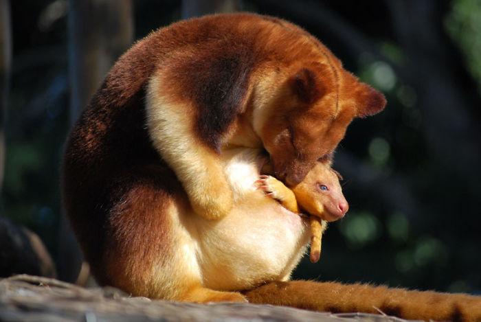 Estamos apaixonados por essa espécie rara de marsupial: o canguru de árvore! 3