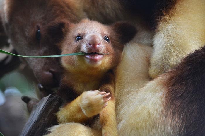 Estamos apaixonados por essa espécie rara de marsupial: o canguru de árvore! 5