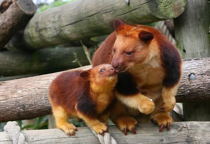 Estamos apaixonados por essa espécie rara de marsupial: o canguru de árvore! 2