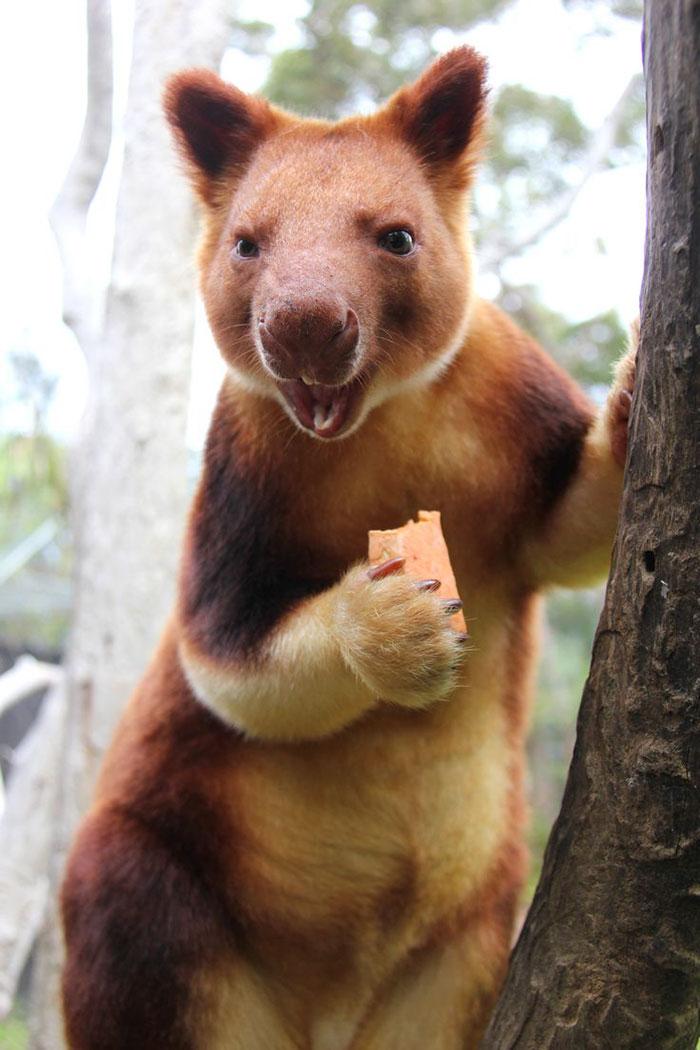 Estamos apaixonados por essa espécie rara de marsupial: o canguru de árvore! 6
