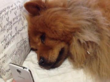 Nível máximo de amor por esse cachorro chorando de saudade de sua dona por vídeo chamada 4