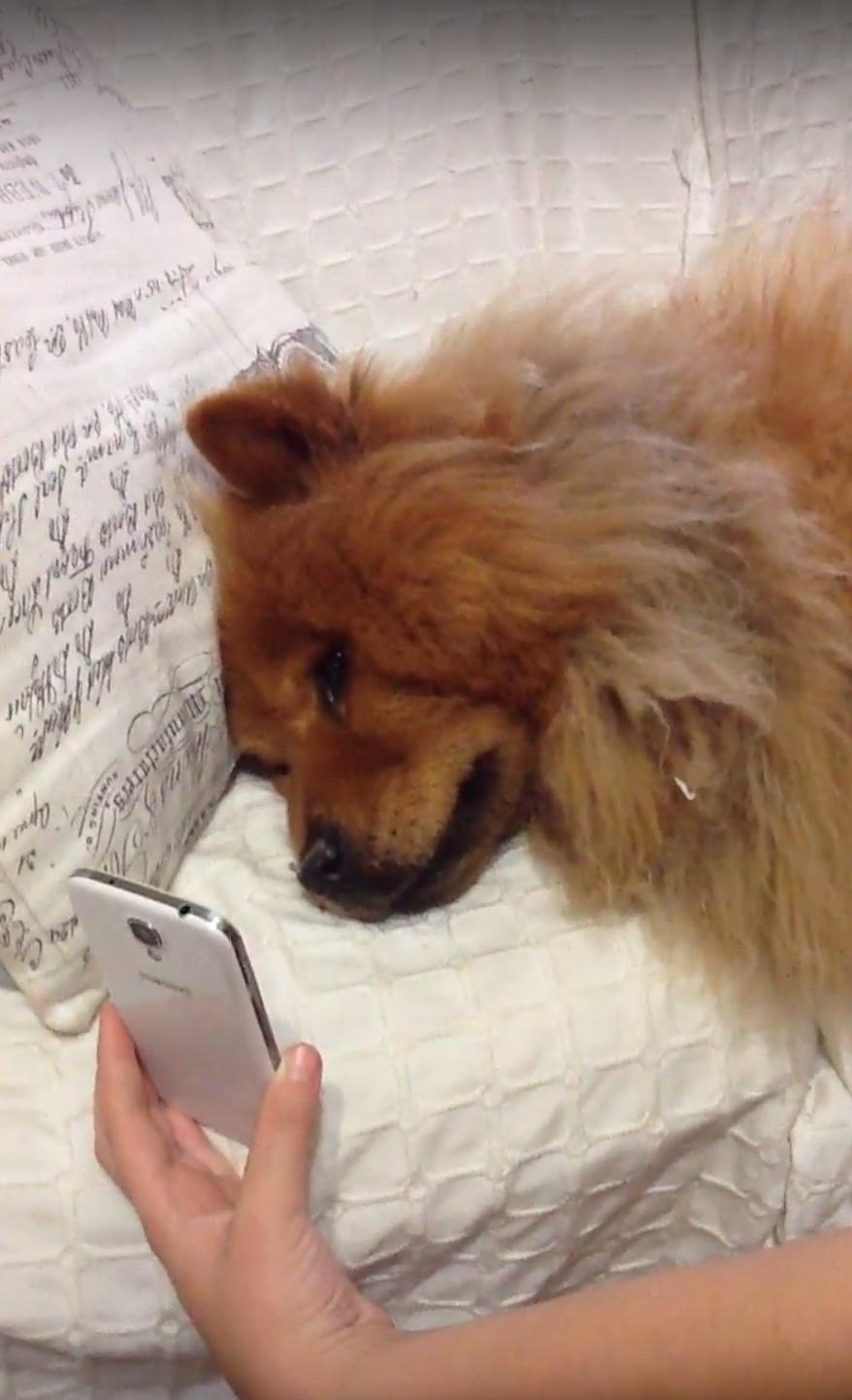 Nível máximo de amor por esse cachorro chorando de saudade de sua dona por vídeo chamada 1