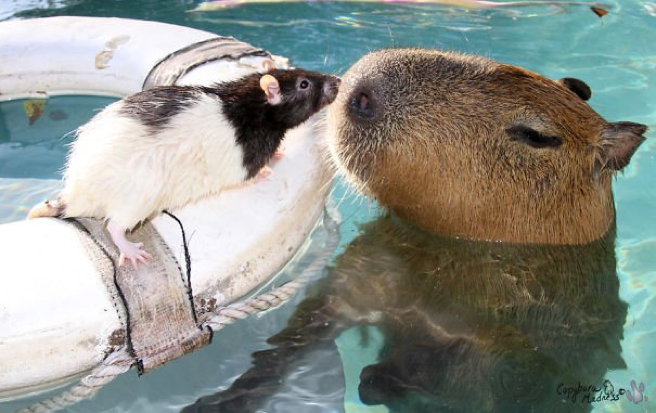 Descubra o motivo que faz a capivara ser a melhor amiga do reino animal 11