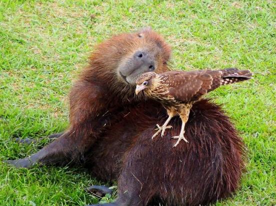 Descubra o motivo que faz a capivara ser a melhor amiga do reino animal 12