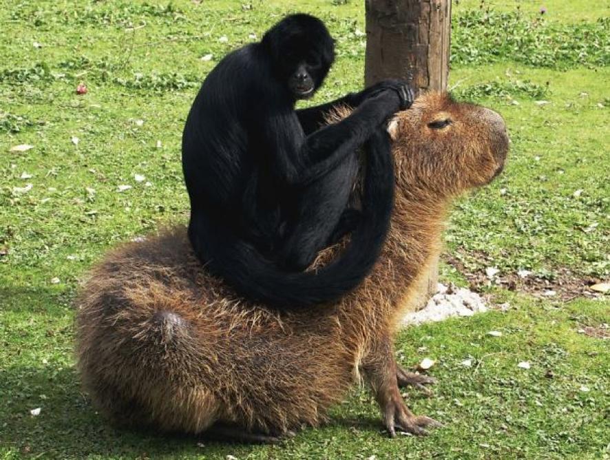 Descubra o motivo que faz a capivara ser a melhor amiga do reino animal 13