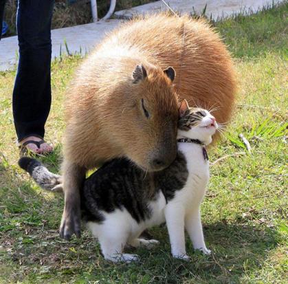 Descubra o motivo que faz a capivara ser a melhor amiga do reino animal 4
