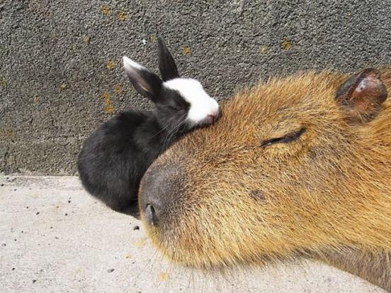 Descubra o motivo que faz a capivara ser a melhor amiga do reino animal 5