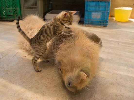 Descubra o motivo que faz a capivara ser a melhor amiga do reino animal 6
