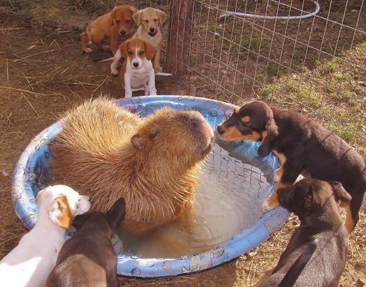 Descubra o motivo que faz a capivara ser a melhor amiga do reino animal 8