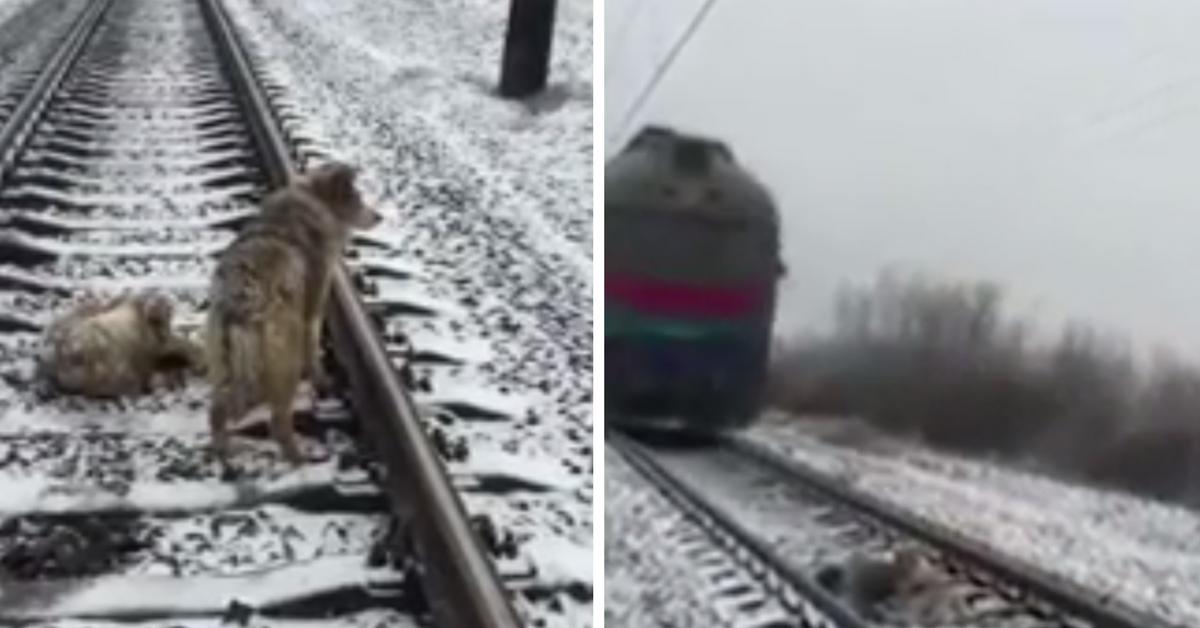 Cachorro passa 2 dias acompanhando cadela que estava ferida em linha de trem 2