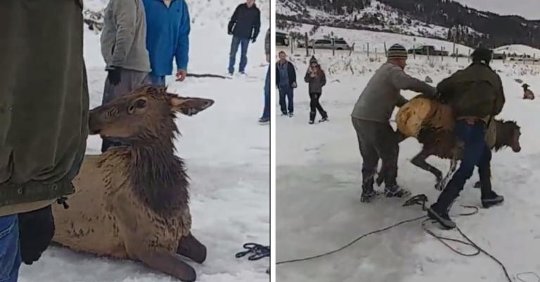 25 pessoas se unem para salvar alce preso em um lago congelado 1