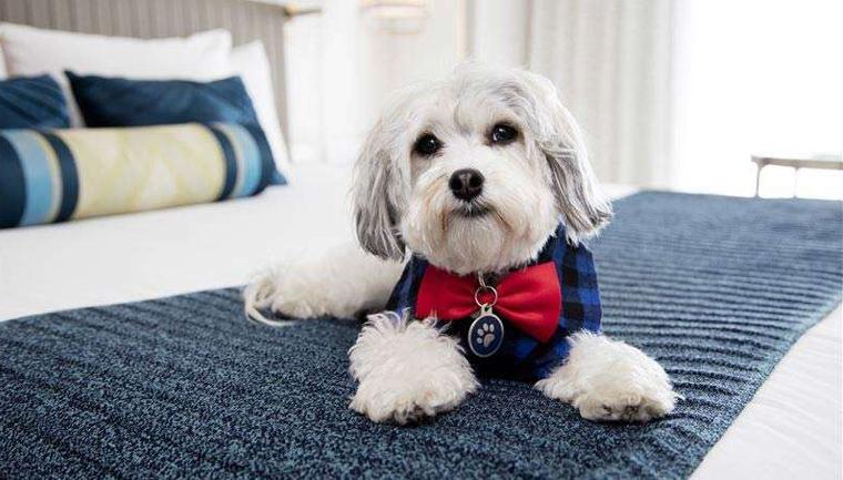 O serviço de quarto deste hotel oferece aos hóspedes o aconchego de um cãozinho 4