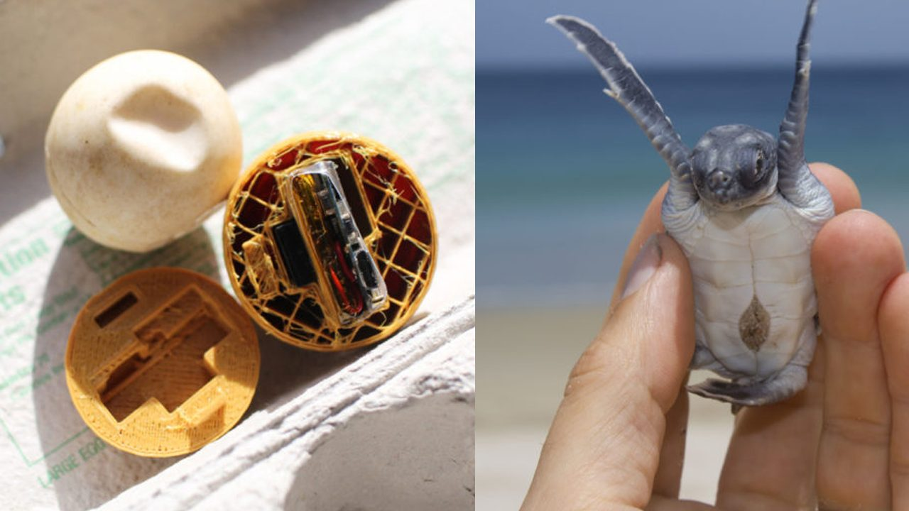 """Estes ovos """"fakes"""" de tartaruga marinha estão ajudando a quebrar o mercado ilegal 3"""