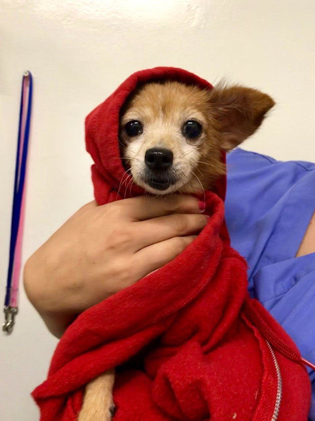 Cadelinha doente abandonada pelo dono ganha um novo lar (e muitos suéters!<3) 11