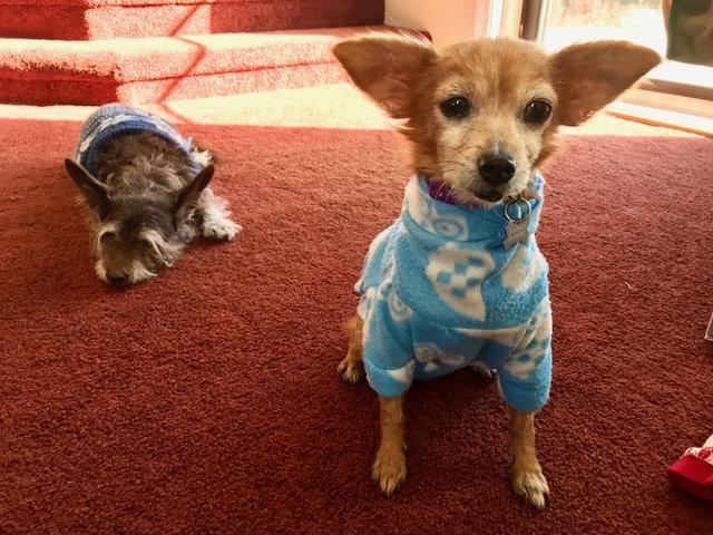 Cadelinha doente abandonada pelo dono ganha um novo lar (e muitos suéters!<3) 4