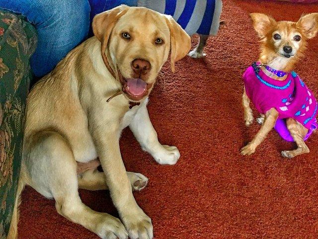 Cadelinha doente abandonada pelo dono ganha um novo lar (e muitos suéters!<3) 5