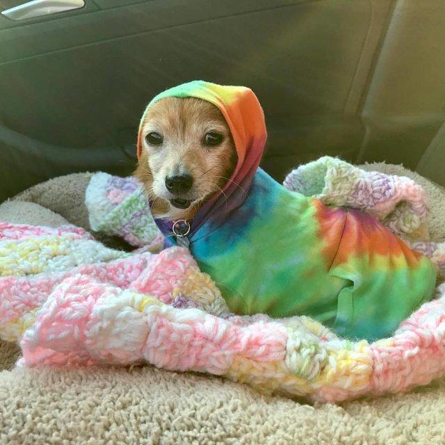 Cadelinha doente abandonada pelo dono ganha um novo lar (e muitos suéters!<3) 6
