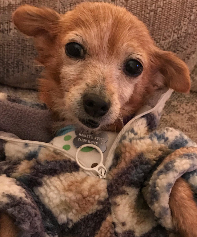 Cadelinha doente abandonada pelo dono ganha um novo lar (e muitos suéters!<3) 7