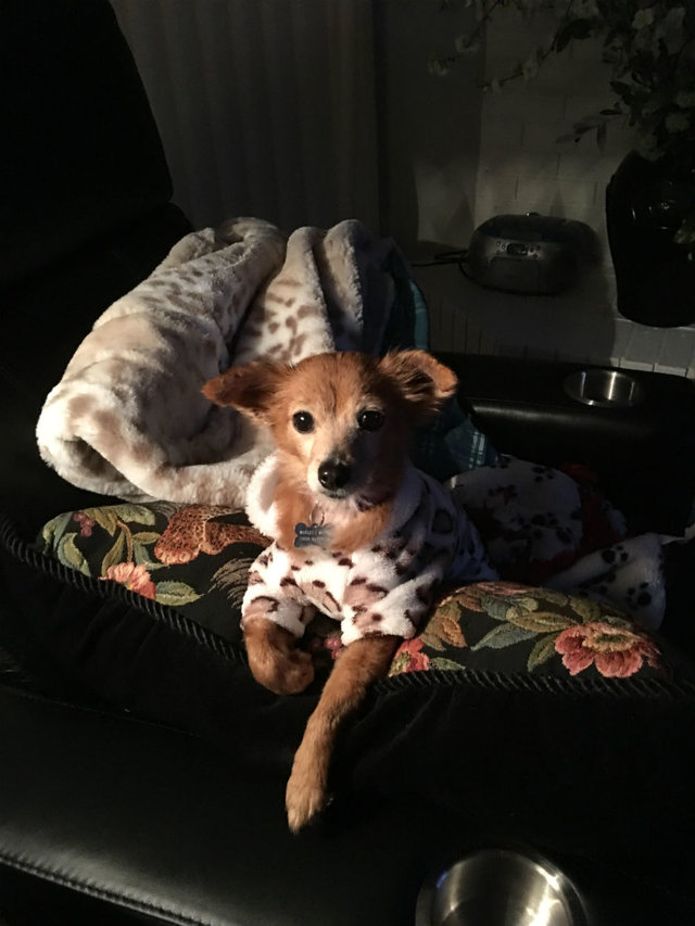 Cadelinha doente abandonada pelo dono ganha um novo lar (e muitos suéters!<3) 10