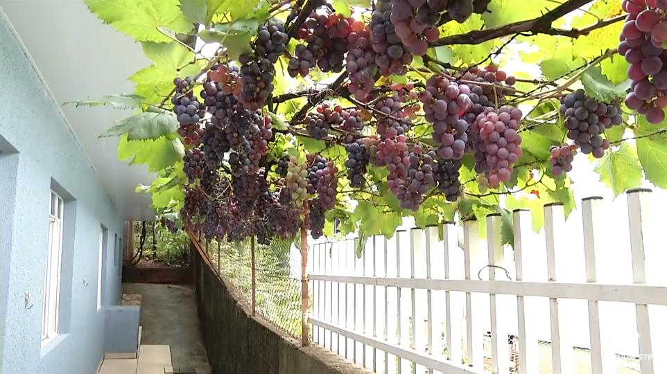 Morador planta videira de 'enfeite' e hoje fornece uva pra toda a vizinhança 3