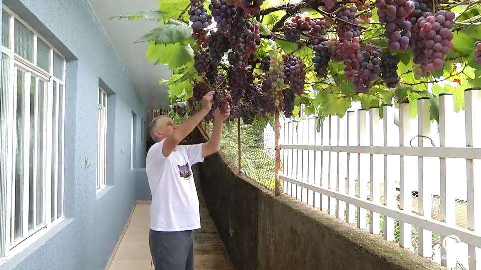 Morador planta videira de 'enfeite' e hoje fornece uva pra toda a vizinhança 4