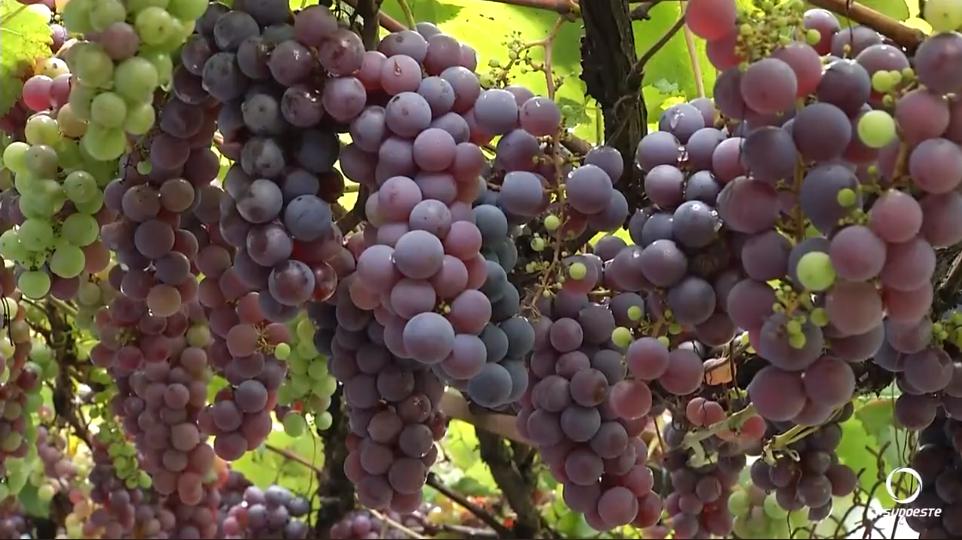 Morador planta videira de 'enfeite' e hoje fornece uva pra toda a vizinhança 5