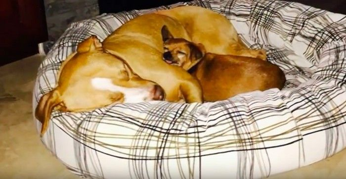 Pit Bull se recusa ser adotada sem seu melhor amigo Chihuahua 2
