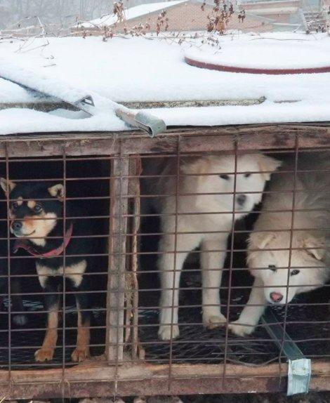 Esquiador e namorado resgatam 90 cães que viviam em fazenda de abate na Coréia do Sul 3