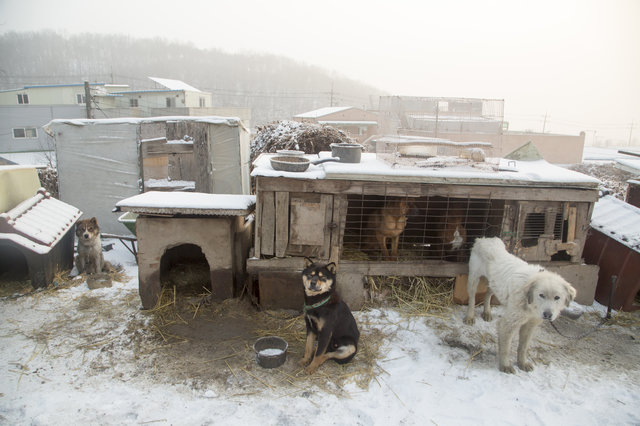 Esquiador e namorado resgatam 90 cães que viviam em fazenda de abate na Coréia do Sul 4