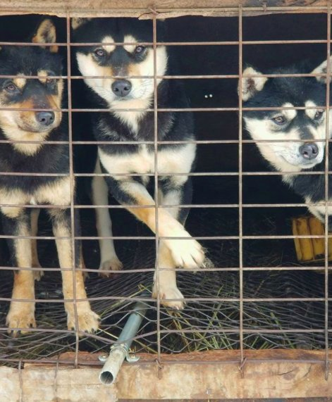 Esquiador e namorado resgatam 90 cães que viviam em fazenda de abate na Coréia do Sul 5