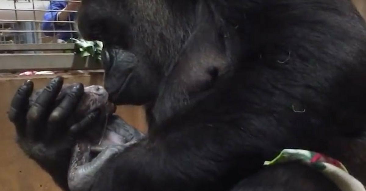mãe gorila