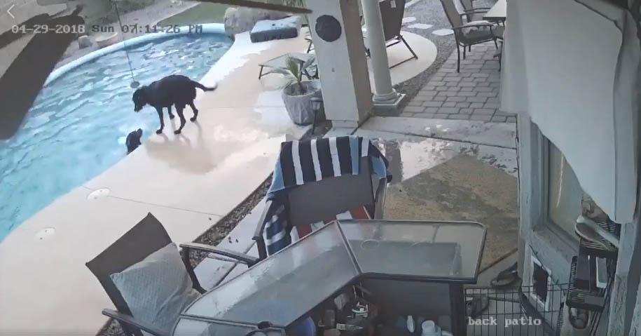 cachorro pula piscina salvar amigo
