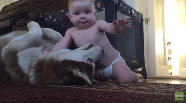 husky-bebê