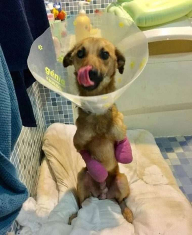 cachorro patas amputadas
