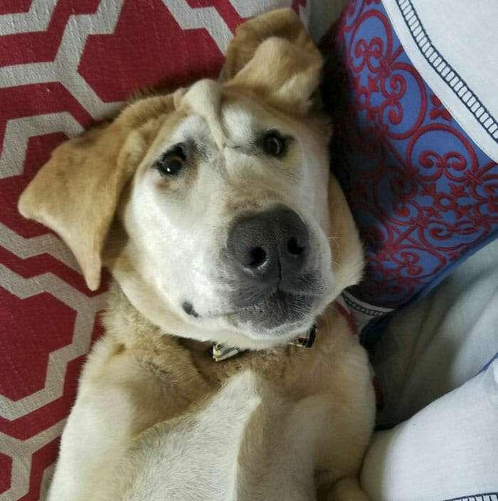 cão-face-deformada