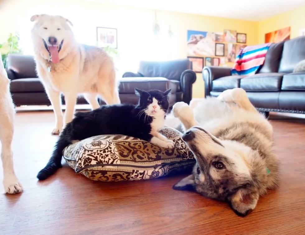 gato e cachorros