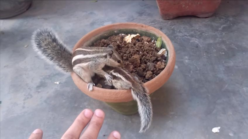 esquilo mãe bebê