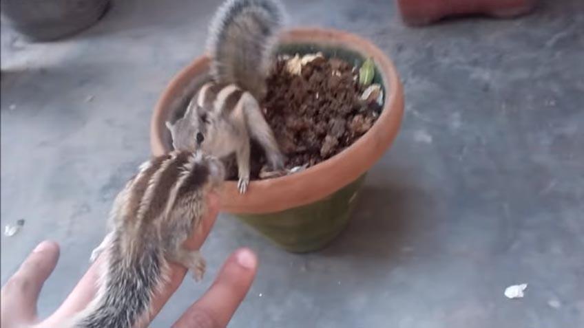 esquilo bebe