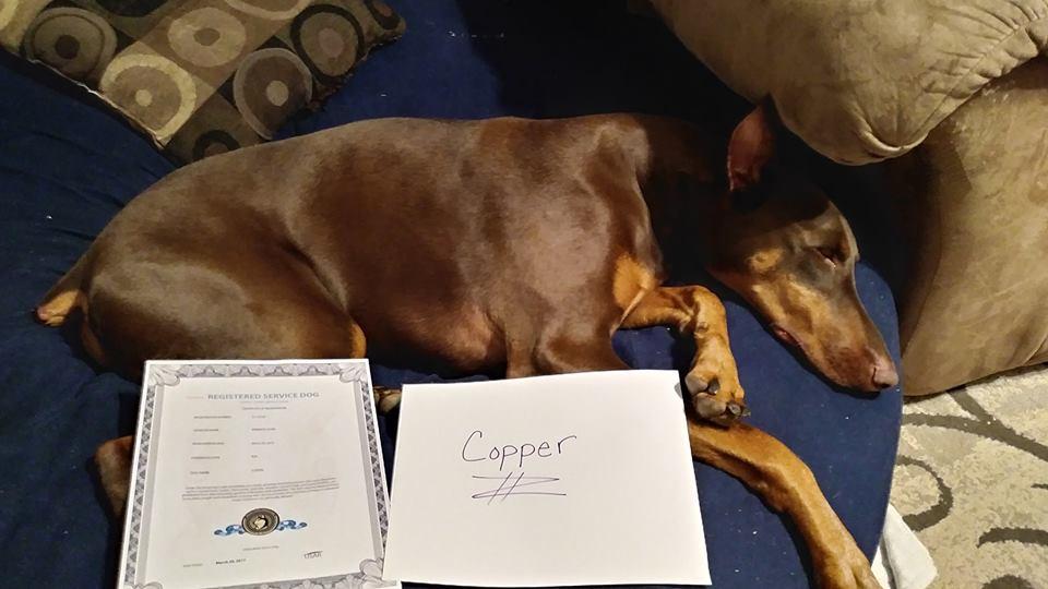 cachorro dobermann doente sofá