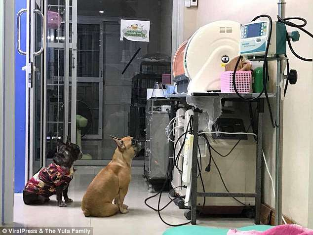 cadelinha observa filhotes prematuros incubadora