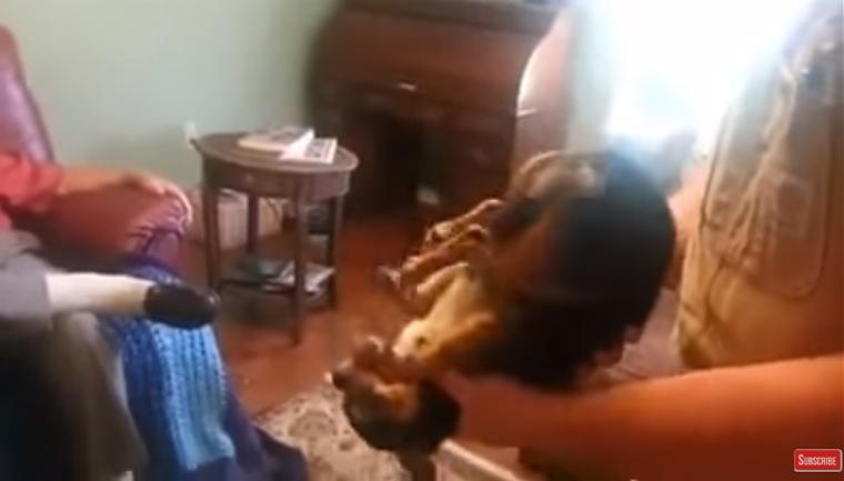 cachorro finge morto tirado colo dono