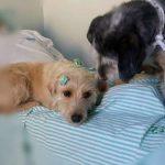 cachorros dormem hospital ver paciente