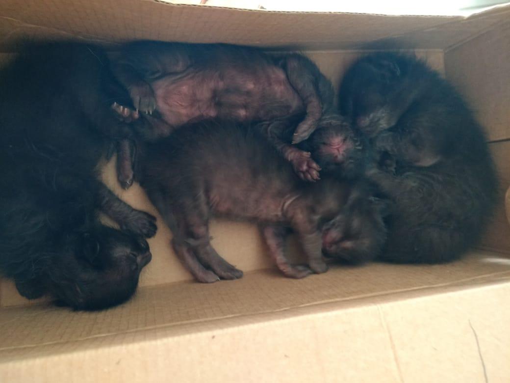 pit bull amamenta quatro gatinhos abandonados