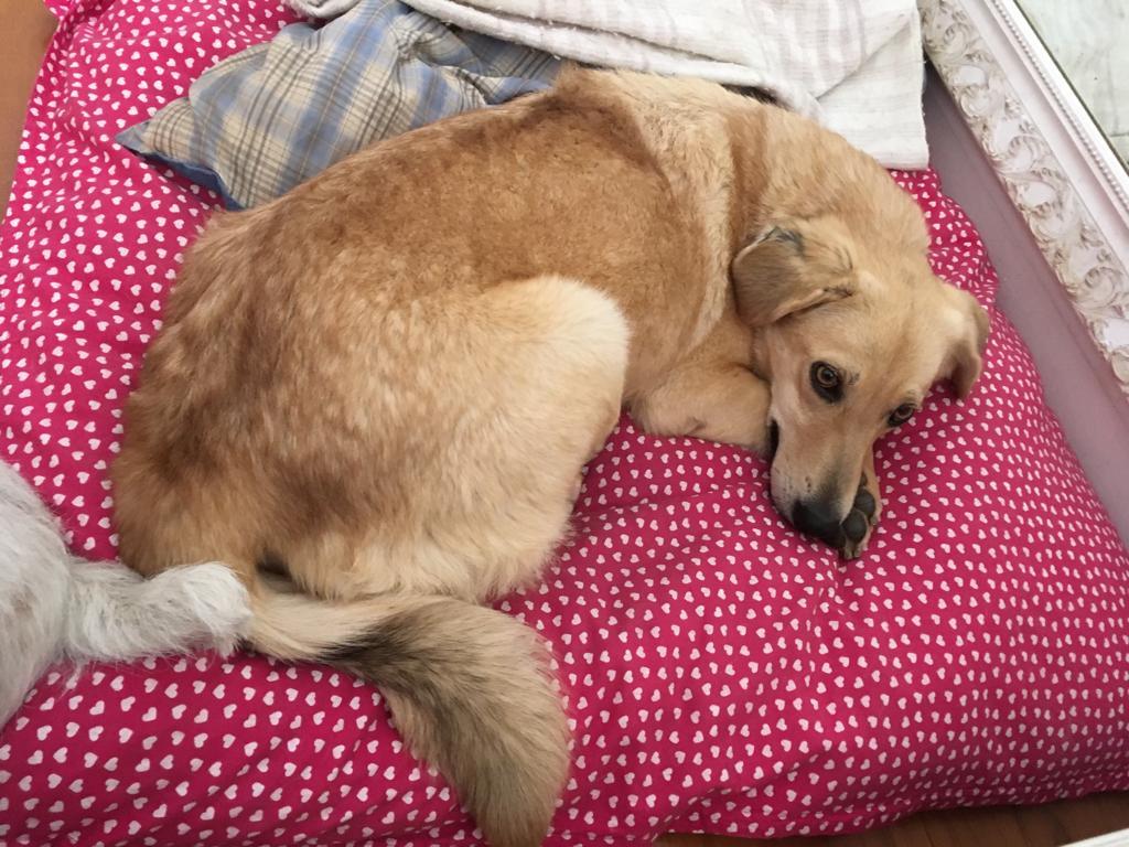 cachorra adotada após várias crias infecção útero perna amputada