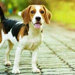 Pequeno cachorro beagle salva menina de 11 anos de ser sequestrada